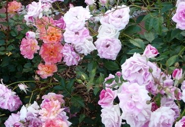 How to Grow Purple Roses