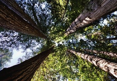 Difference Between Redwoods and Sequoias
