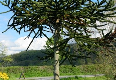 How to Plant a Monkey Tree
