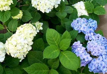 List of Shrubs With White Flowers