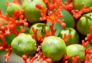 How to Grow a Sapote Plant
