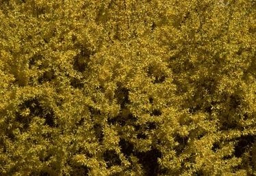 Where to Plant Forsythia: Sun or Shade?