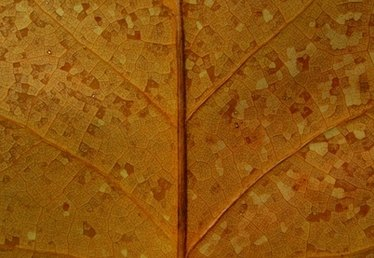 What is the Primary Vein of a Leaf?