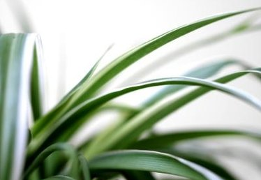 How to Care for a Spider Plant With Yellow Leaves