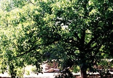 Black Walnut Trees & Gardens