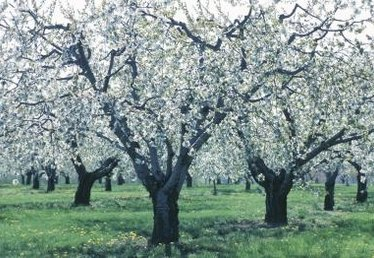 Do You Need More Than One Apple Tree to Pollinate?