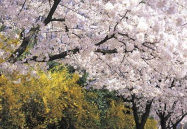 How to Force Cherry Blossoms to Bloom in the House