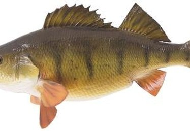 How to Stock a Pond With Yellow Perch