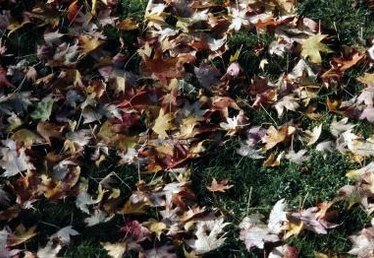 How to Diagnose & Treat Maple Tree Infections & Insect Infestations