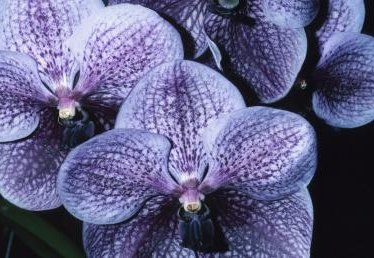 What Is the Name of the Dark Blue & Purple Orchid?