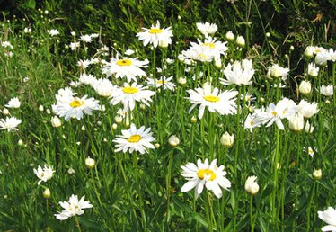 Plants in the Daisy Family