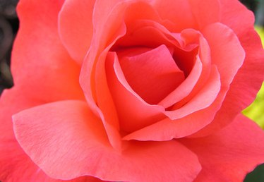 A List of the Most Fragrant Roses