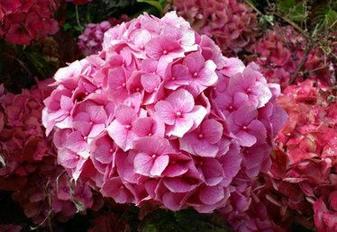 How to Care for Hydrangeas in the Spring