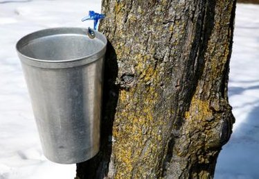 What Eats Maple Trees?