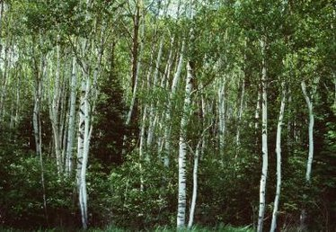 The Color of Birch