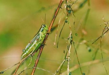 Types of Grasshoppers