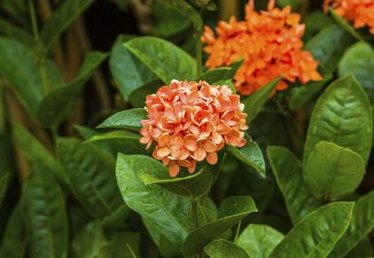 How to Care for an Ixora Plant