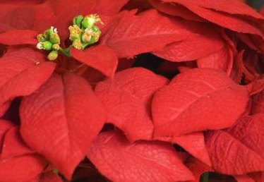 How to Make a Poinsettia Out of Fondant