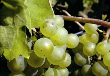How to Graft Grape Vines