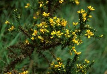 Broom Trees in Texas