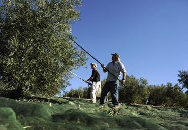How to Harvest Fresh Olives in the Small Orchard