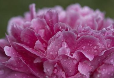 What Is a Chemical to Treat Peonies?