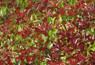 How to Care for a Diseased Red-Tip Photinia