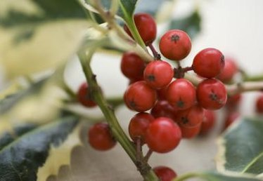 Will Holly Grow Foliage Back After Deer Eat It?
