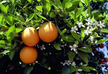 The Type of Orange Tree Used for Grafting