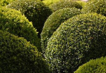 Cutting Italian Boxwood for Landscaping Design