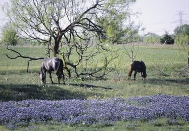 When Do Bluebonnets Bloom?