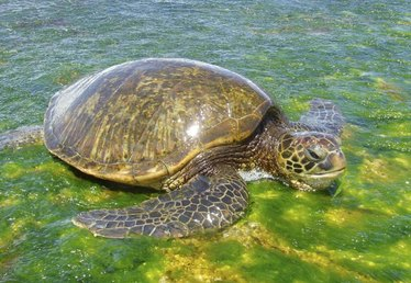 How to See Turtles on Oahu