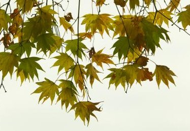 Why Does a Maple Tree Start Turning Color & Losing Its Leaves in Early August?