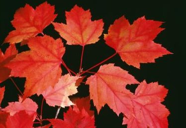 What Month Does a Red Maple Tree Bloom in Central Florida?