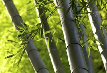 How to Propagate Bamboo From Cuttings