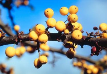 Ten Plants With Yellow Berries