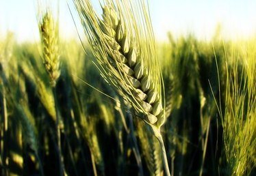 What Is Hard Red Wheat & What Is it Used For?