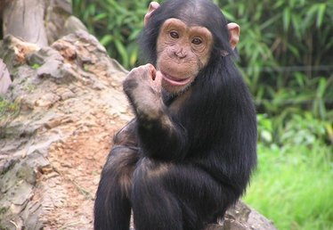 What Is the Difference Between a Monkey & a Chimpanzee?