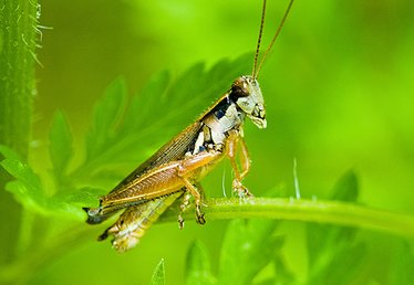 Life Cycle of Grasshoppers