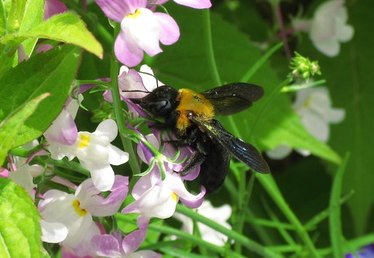 What Are the Benefits of Carpenter Bees?