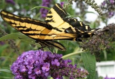 What Are the Benefits of Butterfly Gardens to the Environment?