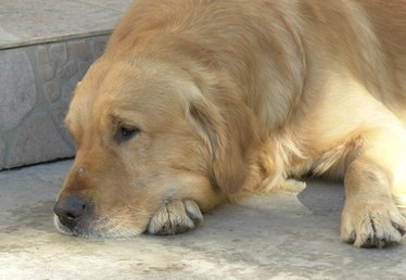 Urinary Frequency in a Golden Retriever