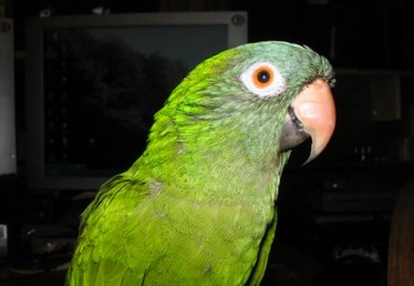 How to Breed Conure Parrots