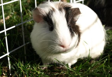 How to treat a urinary tract infection in guinea pigs