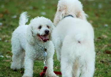 How to Remove Stains From a White Poodle