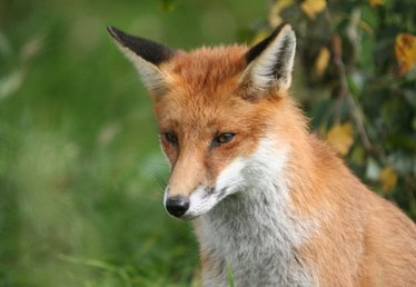 Do Foxes Eat Both Plants & Animals?