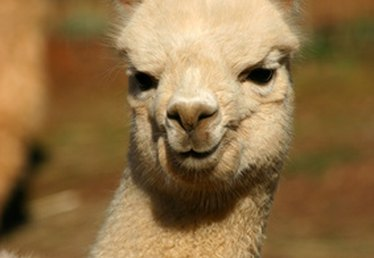 Treatment for Alpaca Skin Problems