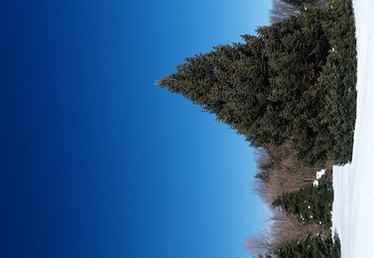How to Water Pine Trees