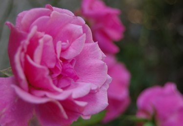 When to Plant Knock Out Roses?