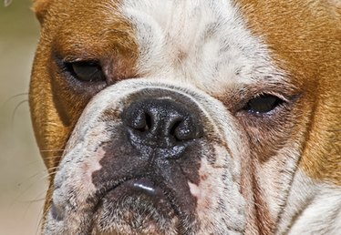 Signs and Symptoms of Kidney Problems in a Male Bull Dog